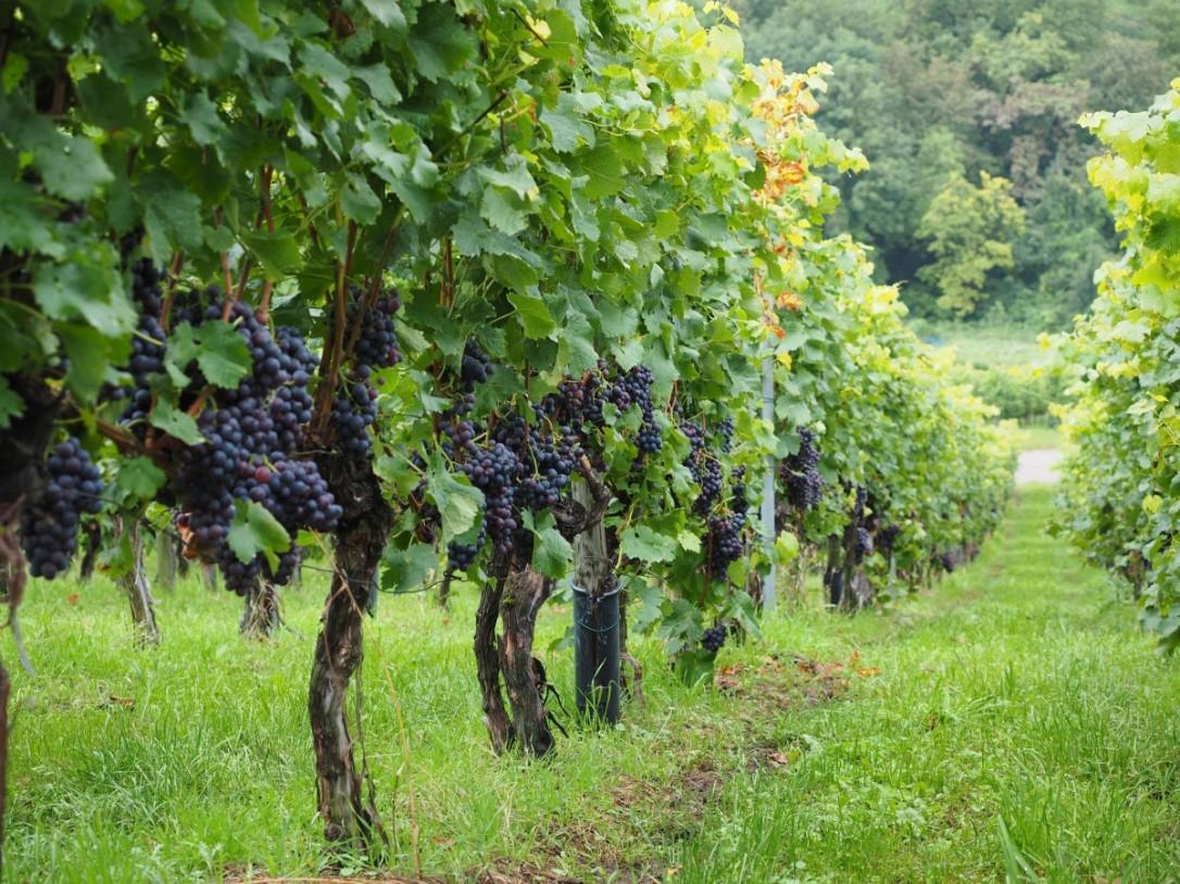 vineyard_wine_berries_grapes_berries_blue_pods_vines_vitis-745501